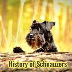 Photo of History of Schnauzers