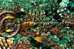 Shortnose Wrasse, Macropharyngodon geoffroy, (Quoy & Gaimard, 1824), and Yellowtail Coris, Coris gaimard, (Quoy & Gaimard, 1824), Molokai Hawaii (Steven W SMeltzer)