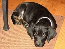 Brindle Labrador - Daisy