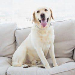 A smiling Labrador on the sofa