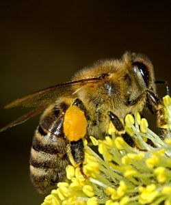 Good pollen stores is one of the most important beekeepers tips and tricks to learn. Pollen is vital. Carolina Honeybees Farm