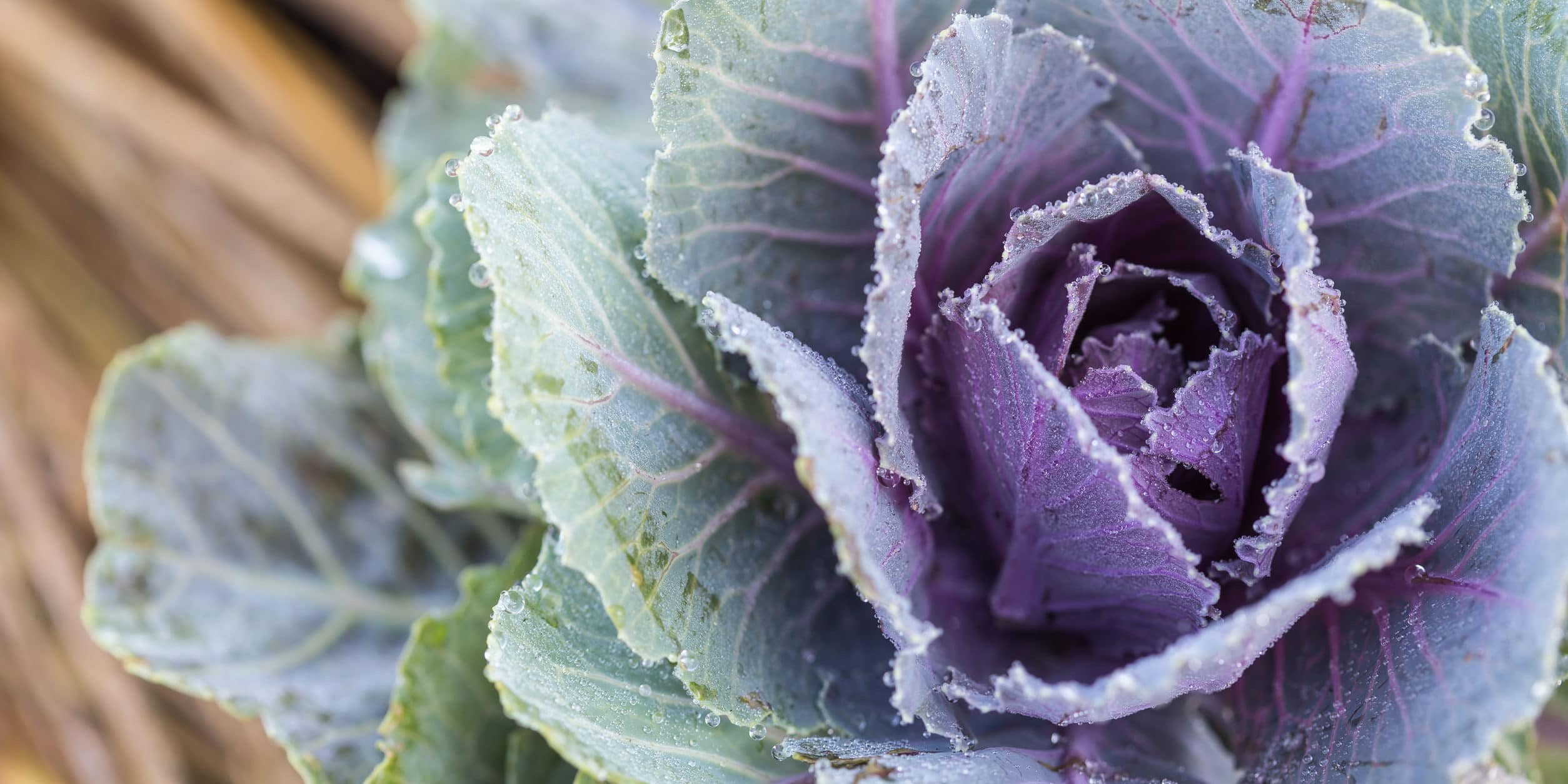 Close up fresh Cabbage in field