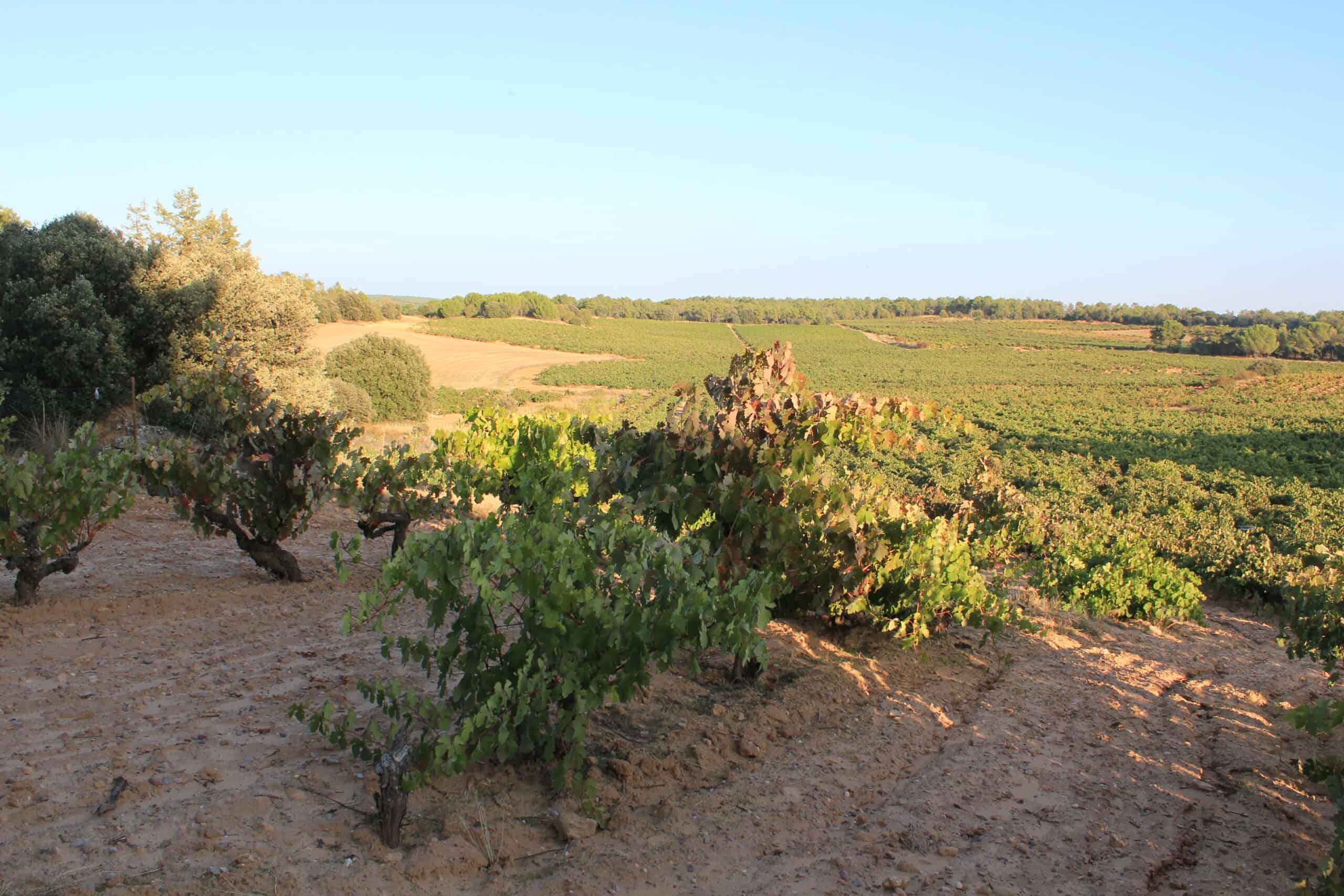 Ribera del Duero – de magiska spanska vinernas hem
