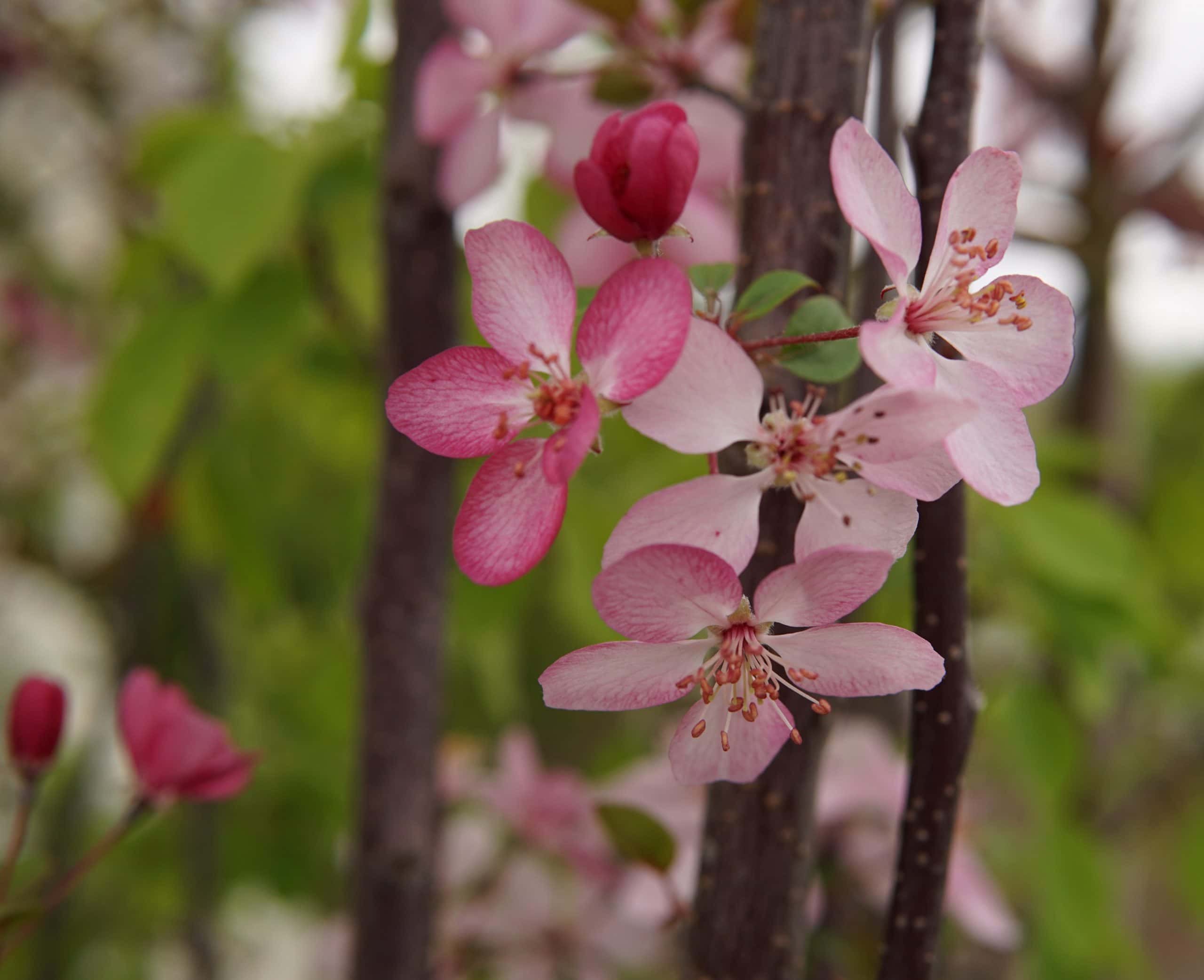 Courageous Crabapple
