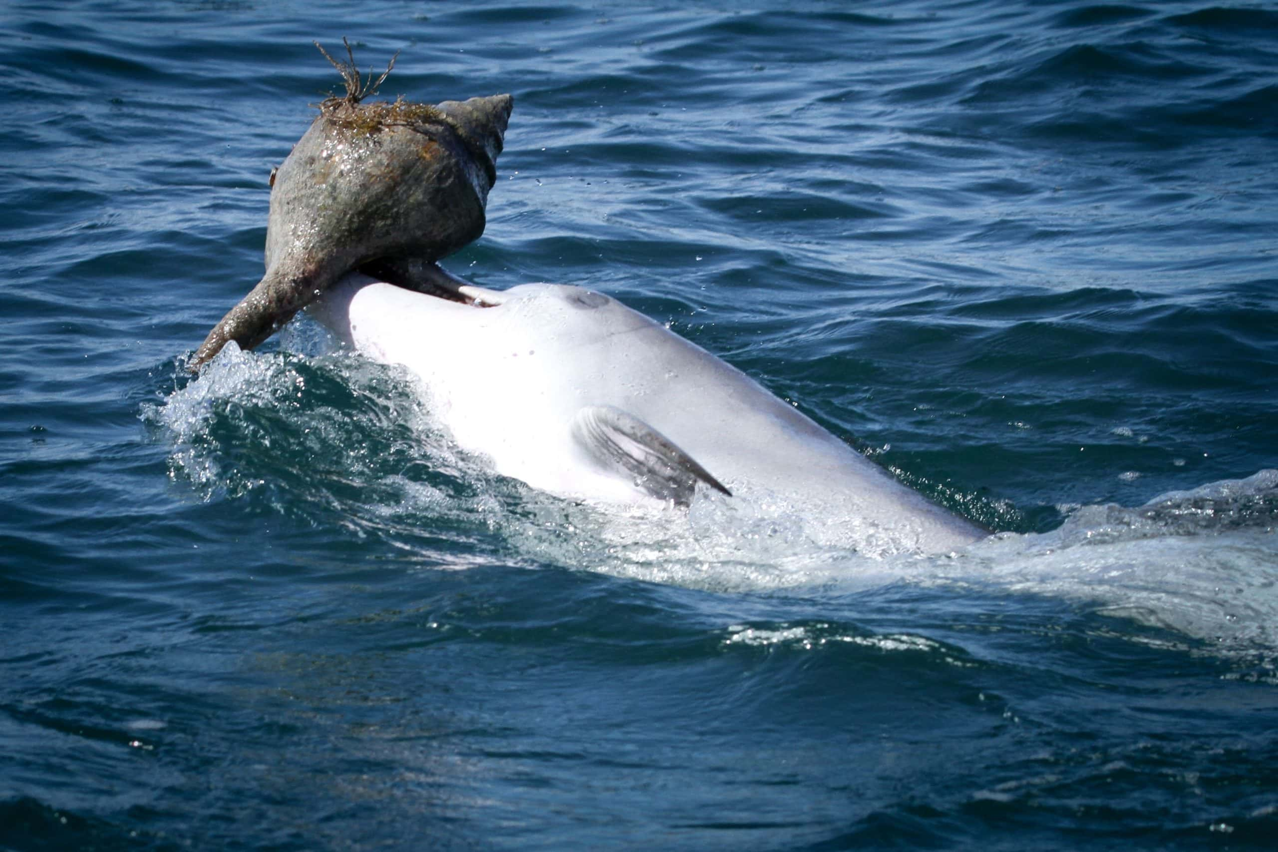 Dolphin using shelling technique to catch prey