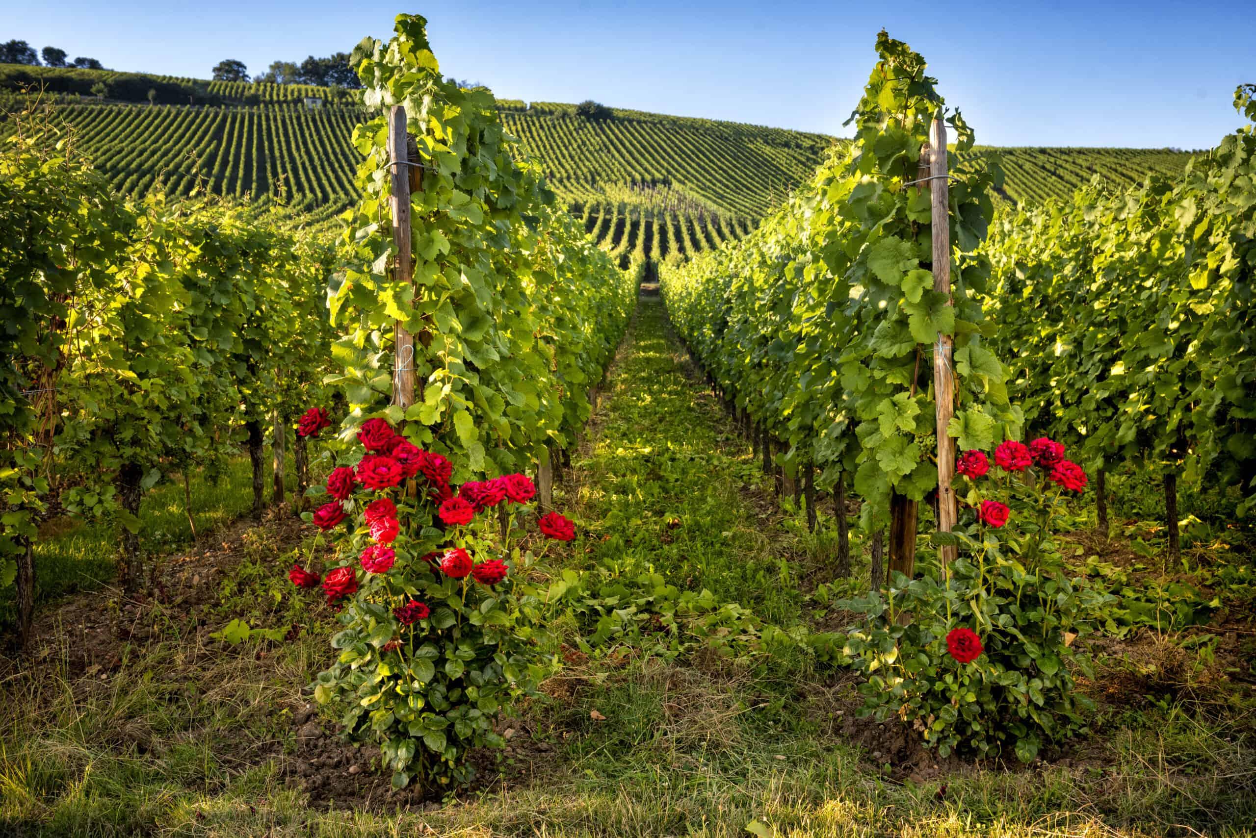 Naturvin, biodynamiskt eller ekologiskt vin – en jämförelse
