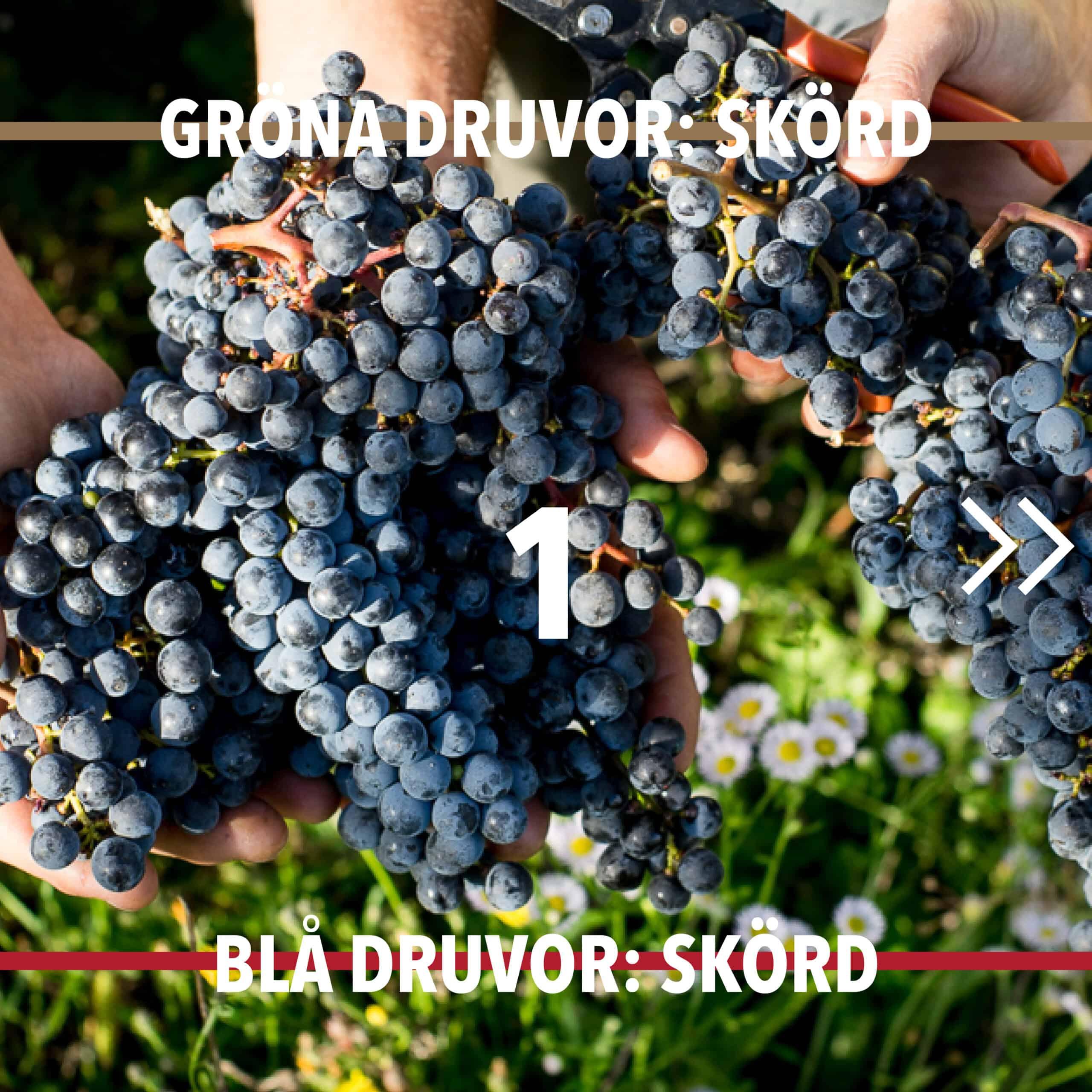 Vintillverkning guide hungry wines: Skörd