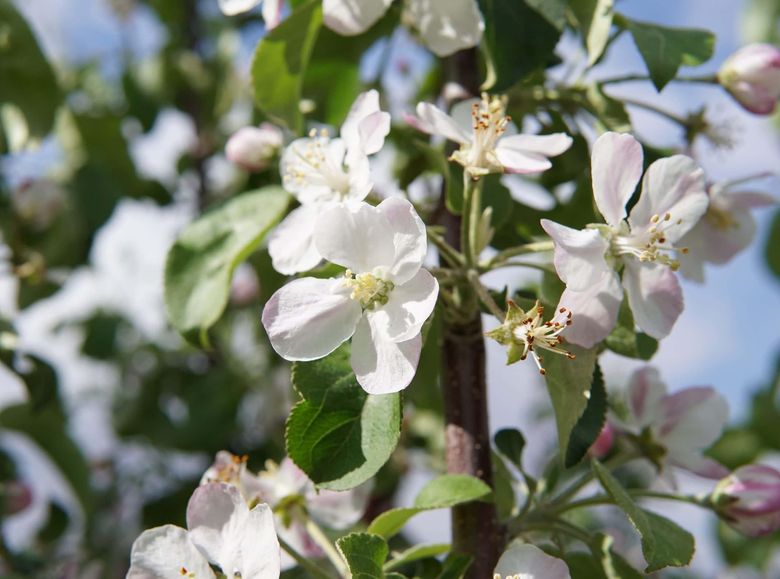 Hardi-Mac Apple bloom