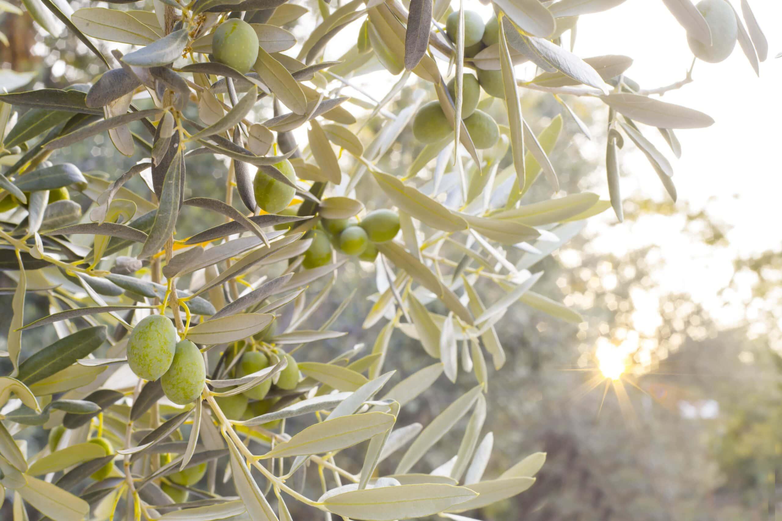 tratamientos foliares olivar otoño