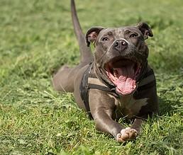 Photo of Caninos de razas potencialmente peligrosas, deben ser registrados