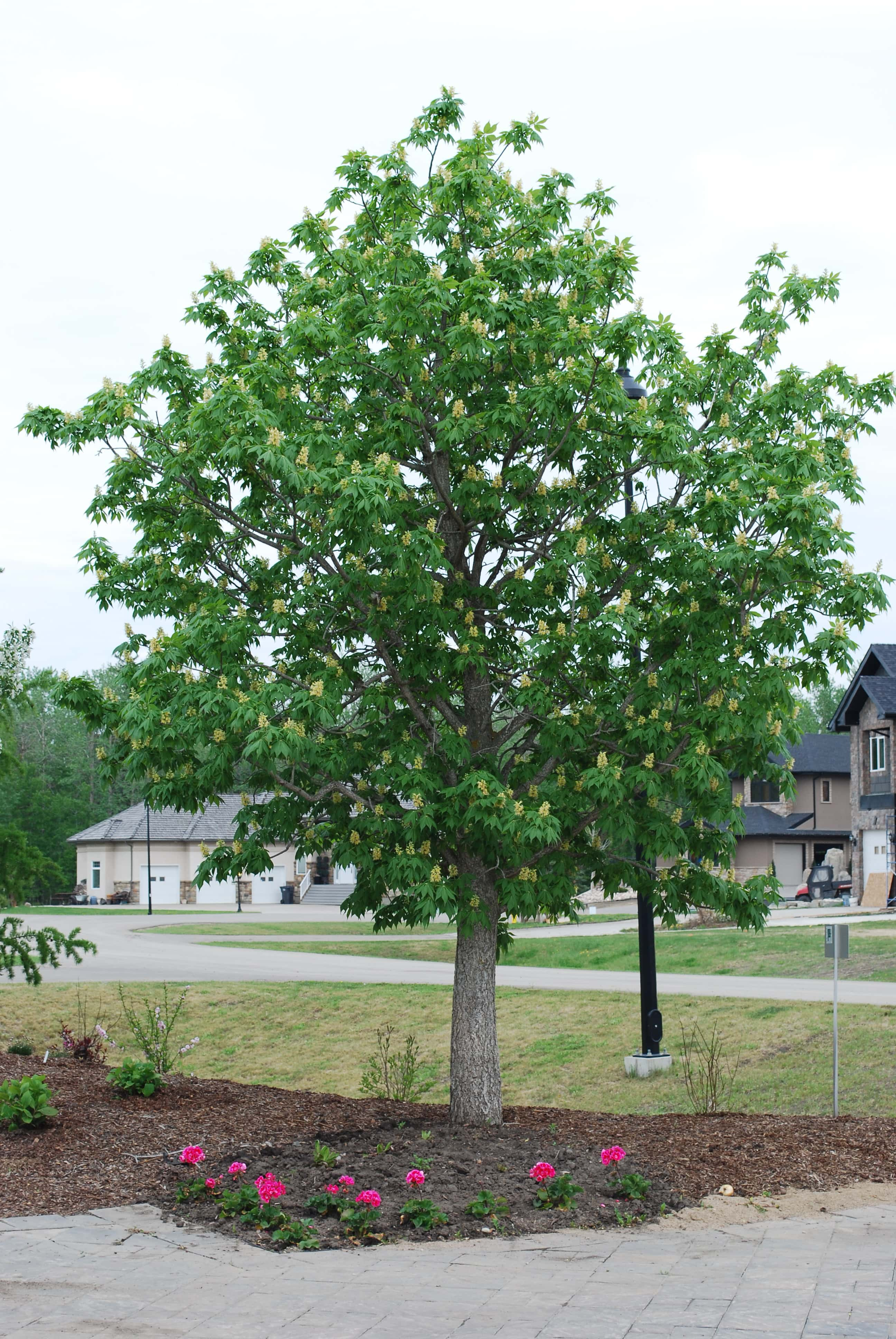 Ohio Buckeye Full Tree