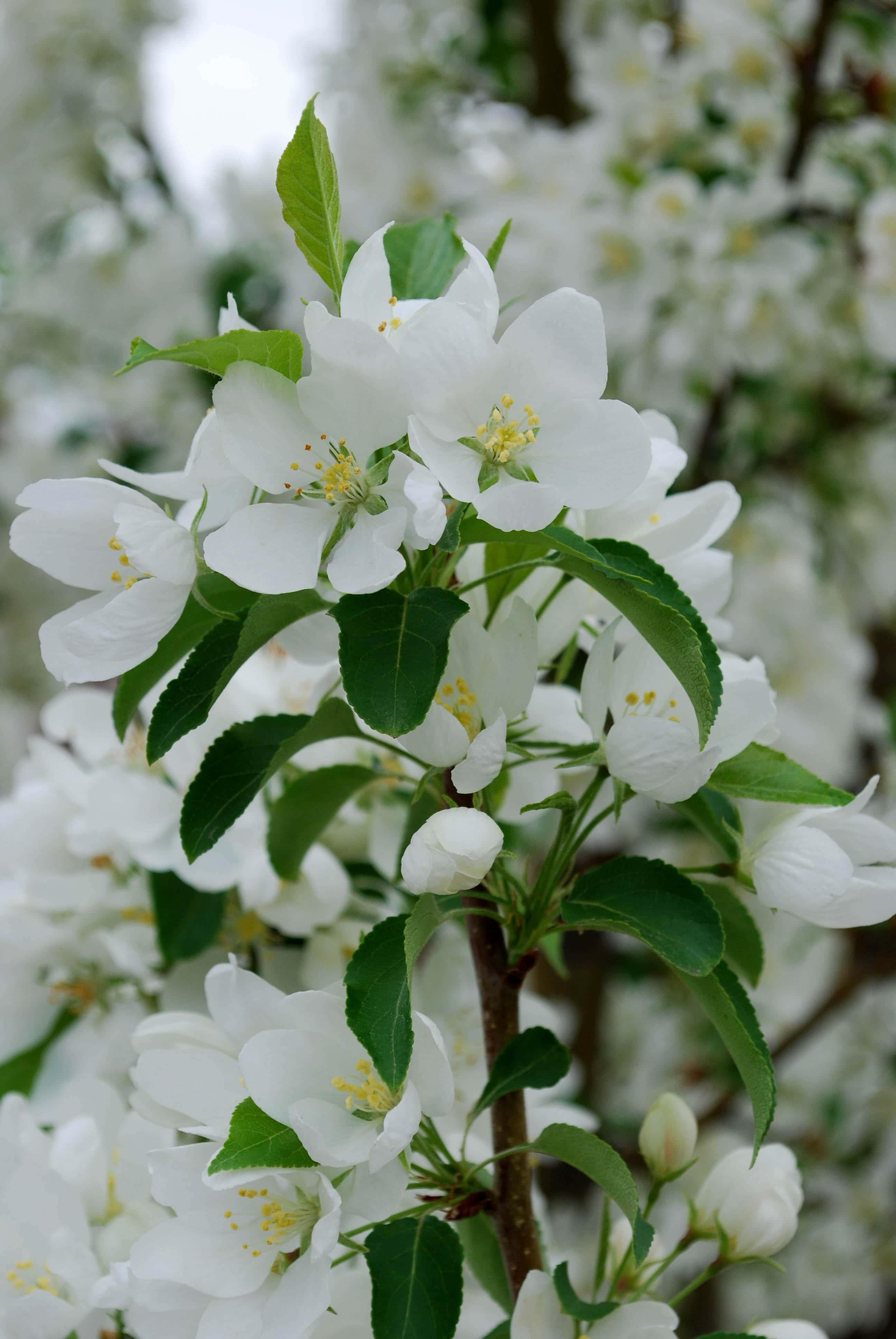 Spring Snow Crabapple Flower Close Up
