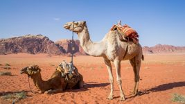 Image: Two camels in the desert
