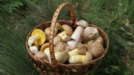 Image: Porcini mushrooms in a basket!