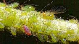 Image: Stem with aphids on it