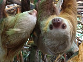 Two sloths