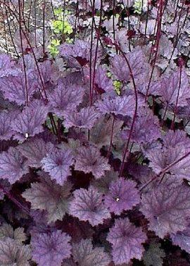 гейхера frosted violet
