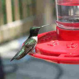 Where to Hang Your Hummingbird Feeder