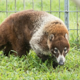 Flip White Nosed Coati