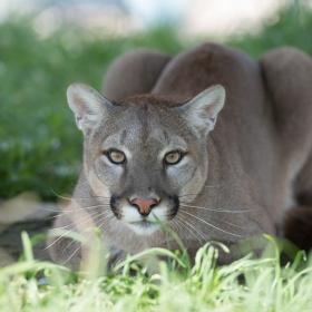 Louisa Mountain Lion