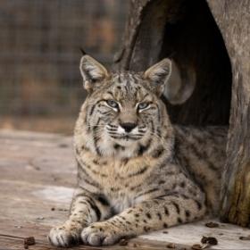 Dillian Bobcat
