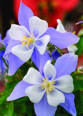 Songbird Bluebird Columbine Flower Close up