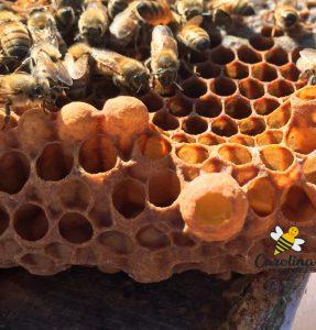 a queen cup or queen cell with a queen honey bee larva inside
