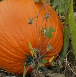 grow pumpkins