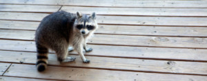 Racoon and Pest Removal
