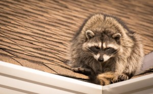 Raccoon on roof