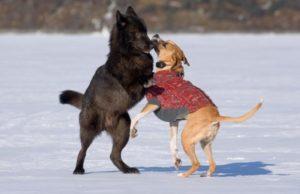 romeo tanz auf eis mit hund