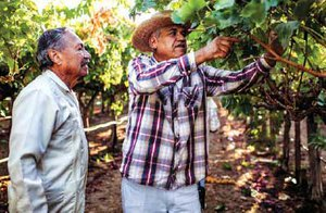 Arturo Rodriguez watches worker Jesus Navarrese examining table grapes at Forty Acres, a parcel of land in Delano, California, that became the headquarters for the United Farm Workers in the late 1960s. In July 1970, Delano-area table grape growers filed into the union hall at Forty Acres to sign their first union contracts.