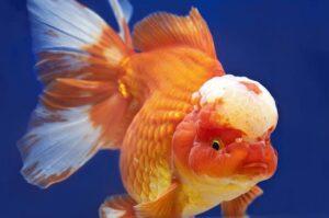 lionhead सुनहरी मछली ka scientific naam kya hai