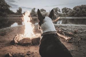 dog watching a campfire