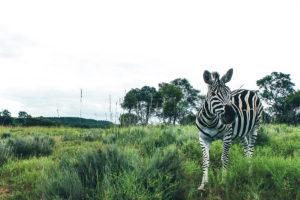 Zebras-Crossing-2017-02-05-1-45