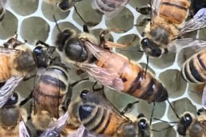 Queen Honey Bee at Seven Gables Farm Apiary