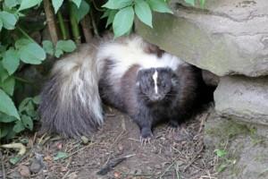 Skunk under rock