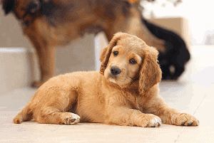 Excited Puppy Pee: Why and How To Stop it