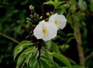 Common Plants of the Amazon Rainforest, Costus COSTACEAE