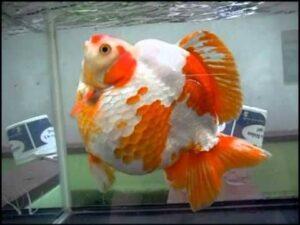 Ryukin Goldfish ka scientific naam kya hai