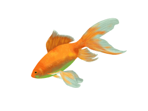 A goldfish - A longer attention span than presentation audiences?