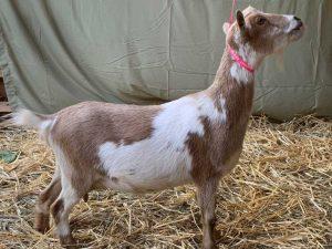 Peanut Flower Nigerian Dwarf Goat Dam Seven Gables Farm VA