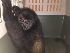 Mono congo (<em>Alouatta palliata</em>).