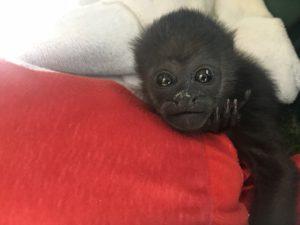 Huérfana de mono Congo (<i>Alouatta palliata</i>)