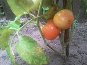 "Check out ""his"" tomatoes!"
