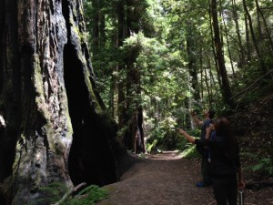 The large coast redwoods of Jedediah Smith Redwoods State Park.