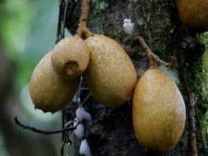 Fruits of the Common Plants of the Amazon Rainforest, Grias