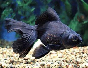 Black telescope Goldfish सुनहरी मछली