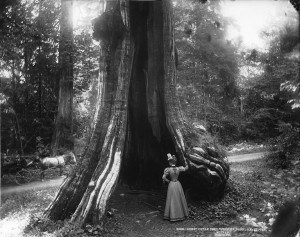 Great_cedar_tree,_Stanley_Park,_Vancouver,_BC,_1897