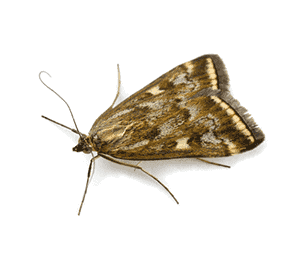 Indian Meal Moth Adult
